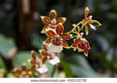 Brown orchid Cambria