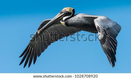 Pelican in flight on Clearwater Beach, Florida  / Pelican in