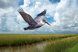 Brown Pelican in Flight Over Marshlands at Grand Isle Louisiana Against Cloudy Sky