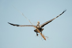 Brown Pelican Incoming with nesting materials