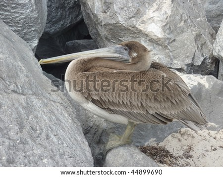 brown pelican on stone