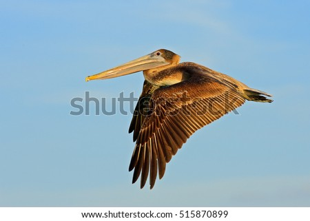 Brown Pelican on the blue sky in nature habitat, Florida, USA. Wildlife scene from ocean. Bird from the coast in the flight. #515870899