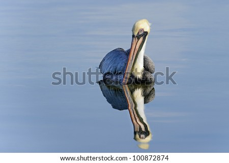 brown pelican, pelecanus occidentalis, big pine key, florida