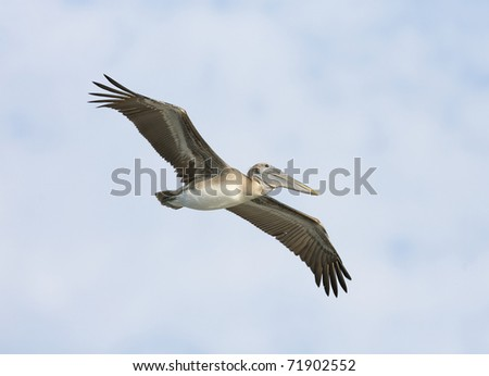 Brown Pelican, Pelecanus occidentalis, flying with blue sky background