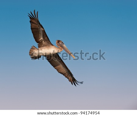 Brown pelican (Pelecanus occidentalis) in flight in Sanibel Island, Florida