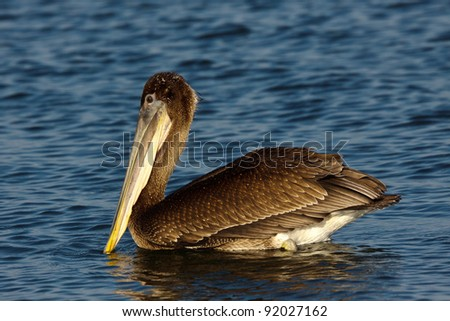 Brown Pelican, Pelecanus occidentalis, in non-breeding plumage