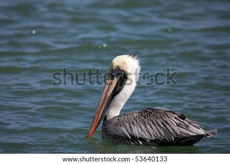 Brown Pelican (Pelecanus occidentalis occidentalis), adult in winter, Bonaire Netherlands Antilles.