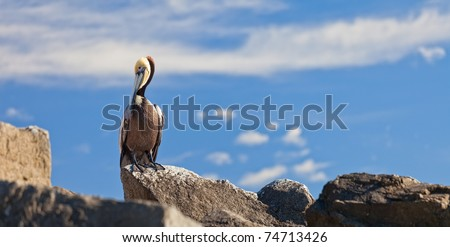 Brown Pelican Resting on Rocks in Cabo San Lucas, Mexico