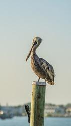 Brown Pelican roosting on mooring pile on the Florida intercoastal waterway