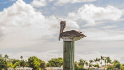 Brown Pelican roosting on top of a wooden dock pile against cloudy sky in full body close up. Blurred background. High quality photo