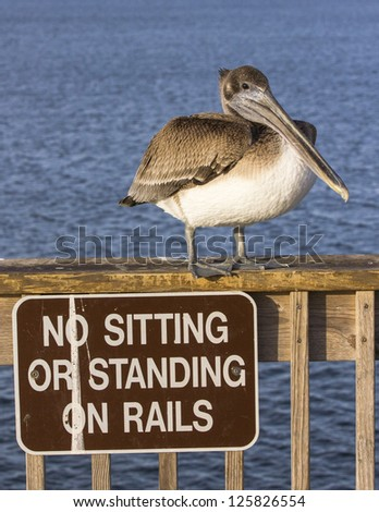 Brown pelican standing next to sign.