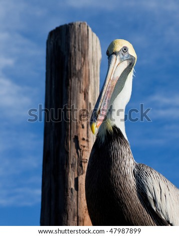 Brown pelican with yellow crown stands next to piling