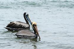 Brown pelicans and peruvian pelicans during bird watching in Ecuador on seashore on beach in wildlife