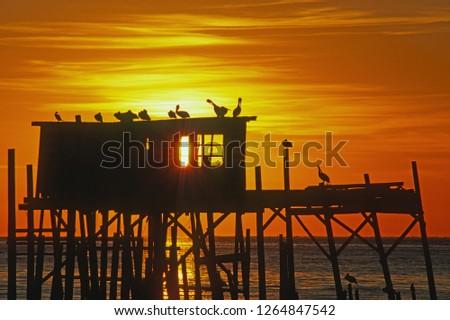 Brown Pelicans on Stilt House; Cedar Key, Florida