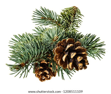Brown pine cone on white background with clipping path