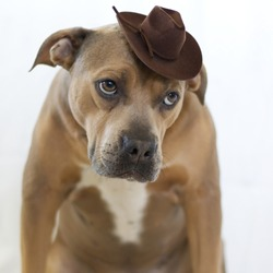 Brown Pitbull Dog Wearing Miniature Cowboy Hat