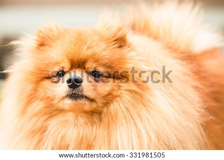 Brown pomeranian puppy dog #331981505