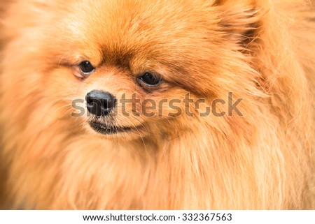 Brown pomeranian puppy dog #332367563