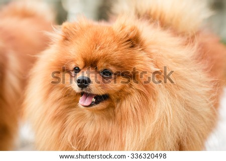 Brown pomeranian puppy dog #336320498