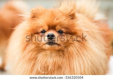 Brown pomeranian puppy dog #336320504