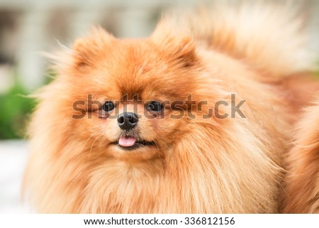 Brown pomeranian puppy dog #336812156