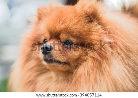 Brown pomeranian puppy dog #394057114