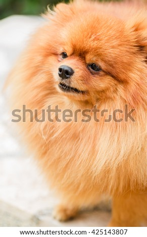 Brown pomeranian puppy dog #425143807