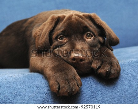 Brown puppy - stock photo