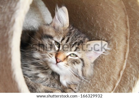 brown puppy of siberian cat on the scratching post
