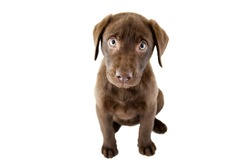 Brown puppy on a white background