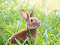 Brown Rabbit in green meadow