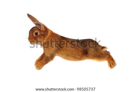 brown rabbit  jump on white background