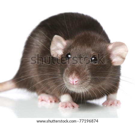 Brown Rat. Close-up portrait on a white background