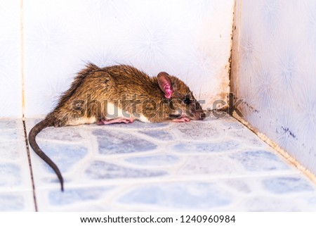 Brown rat into the bathroom in the house.