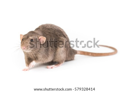 Brown rat isolated on white background
