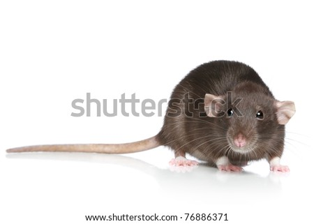 Brown Rat on a white background