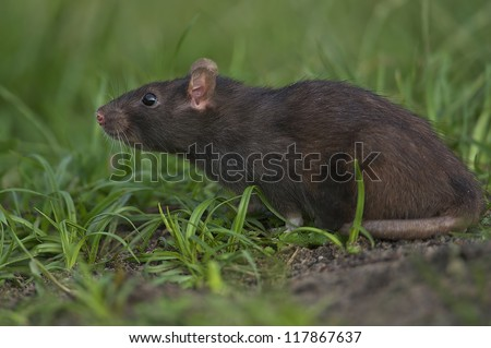 Brown Rat - Rattus