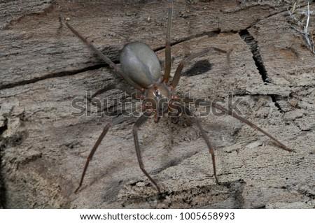 Brown Recluse  (Loxosceles reclusa) venomous US spider #1005658993