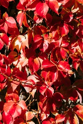 Brown red fall colored foliage - Colorful natural background