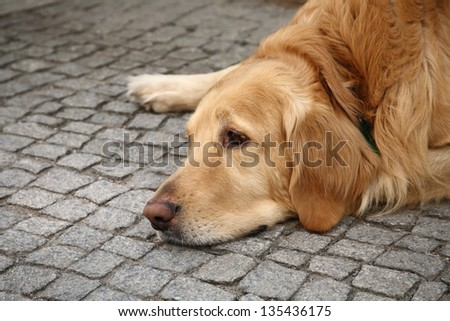 brown retriever dog lying on the pavement looking sad