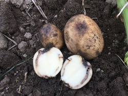 Brown rot of potato. Disease caused by a soil-borne bacterium named Ralstonia solanacearum