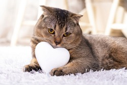 Brown scottish fold cat with white heart between paws on the carpet. Heart as a symbol of the search for your mate. The cat is looking for a girlfriend.