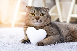 Brown Scottish Fold cat with white heart between paws on the carpet. Heart as a symbol of the search for your soul mate. The cat is looking for a girl. Breeding purebred cats, cattery for cats.