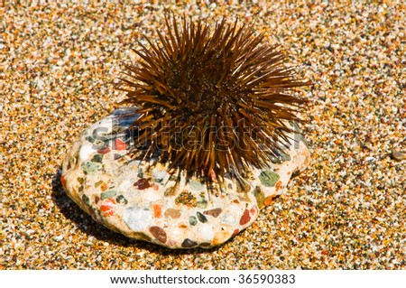Brown sea hedgehog sitting on a stone of coast from a pebble