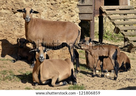 brown sheep of Cameroon (Ovis aries) with lamb #121806859