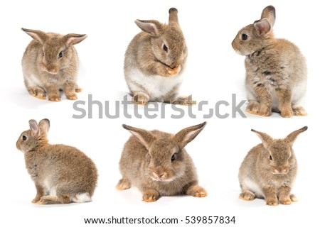 Brown short hair adorable baby rabbit on white background