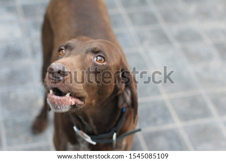 Brown shorthaired german pointe with a blue collar  #1545085109