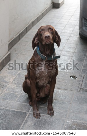 Brown shorthaired german pointer with a blue collar  #1545089648
