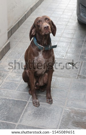 Brown shorthaired german pointer with a blue collar  #1545089651