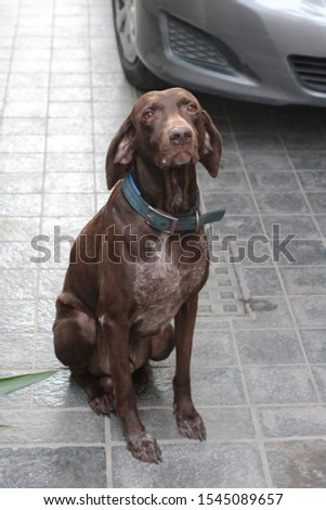 Brown shorthaired german pointer with a blue collar  #1545089657